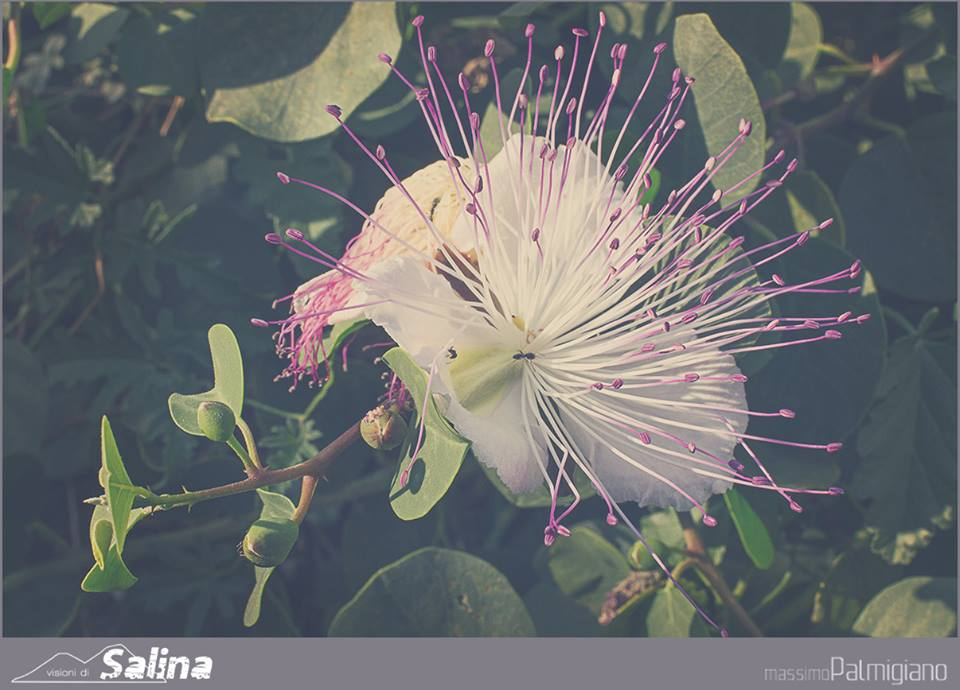 Il fiore del cappero, definito anche l'orchidea delle Eolie